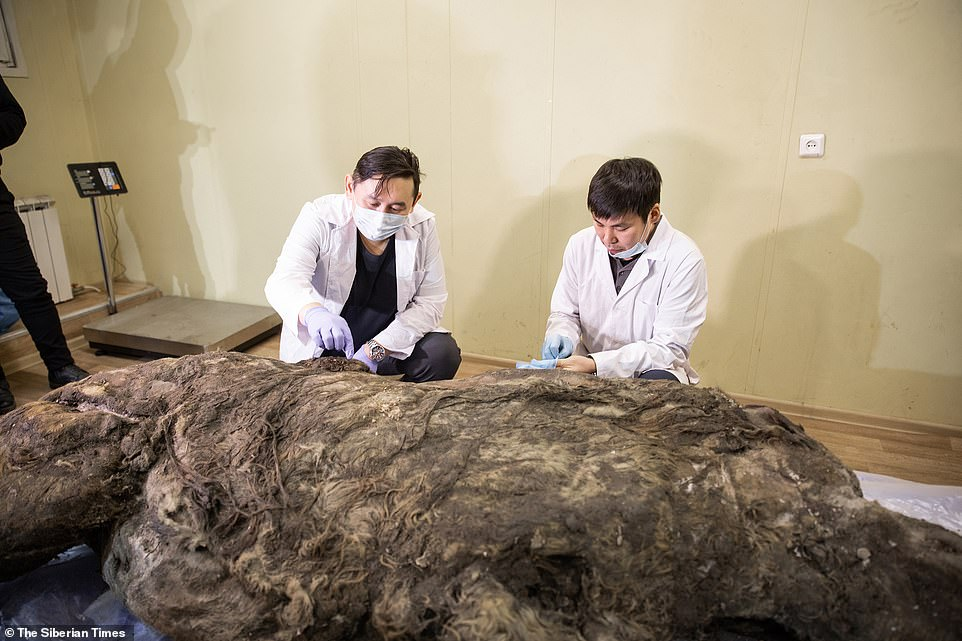 35,000 Years Later, Frozen Woolly Rhino Discovered