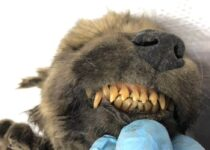 18,000-year-old puppy found remarkably preserved in permafrost