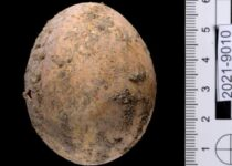 Israel discovers 1,000-year-old intact chicken's egg