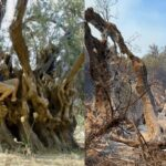 2,500-Year-Old Olive Tree Burned to Ashes in Greek Fires