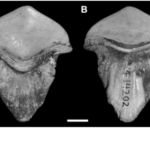290-million-year-old Fossil of petal-shaped shark teeth first found in China
