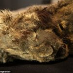 28,000-Year-Old Cave Lion Cub Found Perfectly Preserved in Russian Permafrost