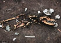 Iron Age skeleton of a human, dogs and a sex object found near Aarhus in Denmark