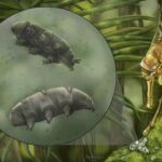 Scientists find a new species of 'indestructible' tardigrade preserved in 16 MILLION-year-old amber